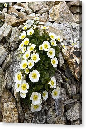 Glacier Crowfoot Ranunculus Glacialis Canvas Print by Bob Gibbons