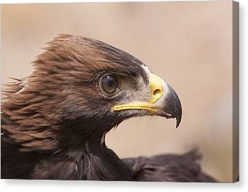 Canvas Print featuring the photograph Glaring Eagle by Jim Snyder