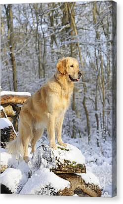 Golden Retriever In Snow Canvas Print by John Daniels