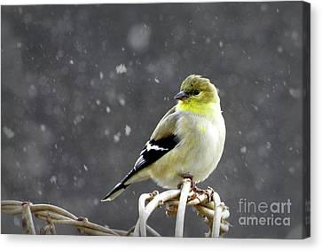 Canvas Print featuring the photograph Goldfinch by Brenda Bostic