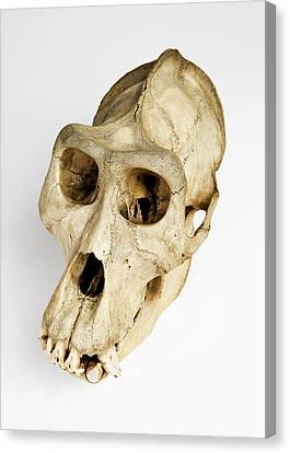 Gorilla Skull Canvas Print by Ucl, Grant Museum Of Zoology