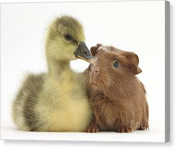 Gosling And Baby Guinea Pig Canvas Print by Mark Taylor