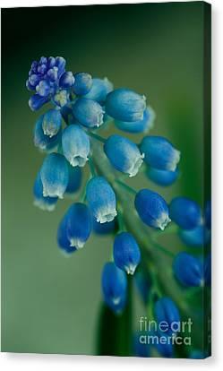 Grape Hyacinth Canvas Print by Nailia Schwarz