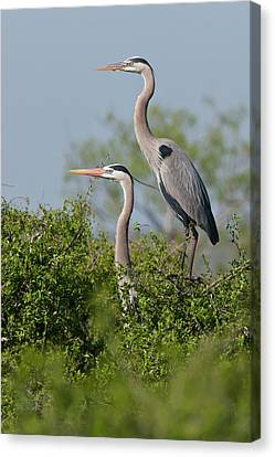 Great Blue Heron (ardea Herodias Canvas Print by Larry Ditto
