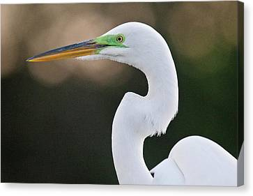 Great White Heron Canvas Print - Great Egret by Bob Gibbons