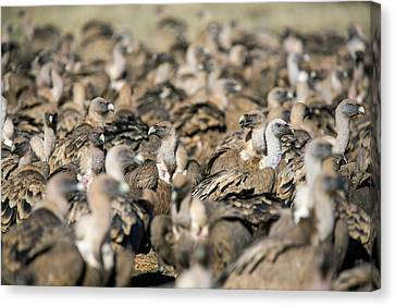 Griffon Canvas Print - Griffon Vultures by Nicolas Reusens