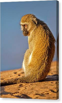 Grivet Monkey Chlorocebus Aethiops Canvas Print by Photostock-israel