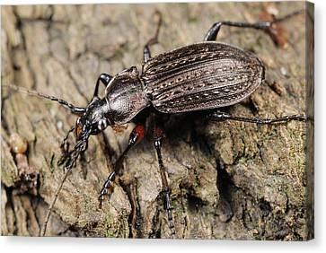 Ground Beetle Canvas Print