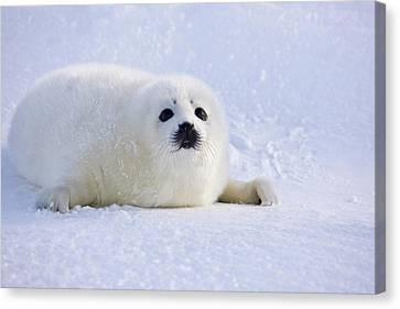 Harp Seal Pup On Ice, Iles De La Canvas Print