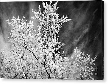 hoar frost on bare tree branches during winter Forget Saskatchewan Canada Canvas Print by Joe Fox