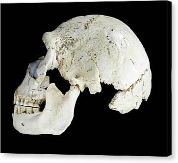 Hominin Skull From Sima De Los Huesos Canvas Print