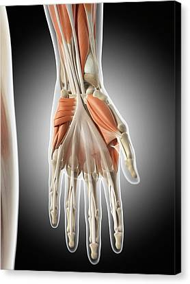 Human Hand Muscles Canvas Print by Sciepro