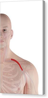 Human Shoulder Artery Canvas Print