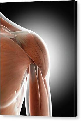 Human Shoulder Muscles Canvas Print by Sciepro