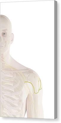 Human Shoulder Nerves Canvas Print