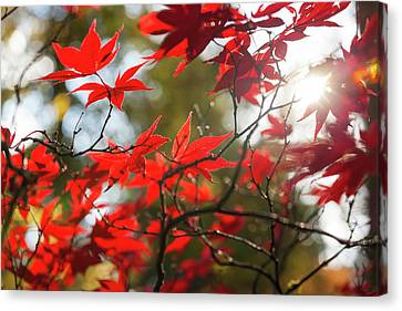 Japanese Maple In Autumn Color Canvas Print by Peter Adams