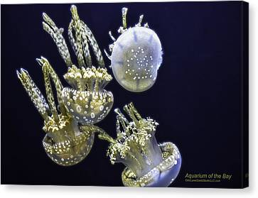 Jellyfish Of Aquarium Of The Bay San Francisco Canvas Print