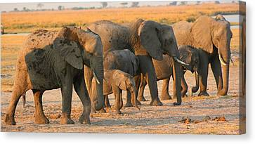 Canvas Print featuring the photograph Kalahari Elephants by Amanda Stadther
