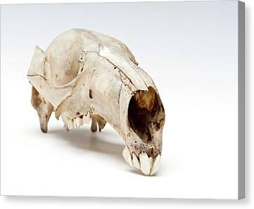 Kangaroo Skull Canvas Print