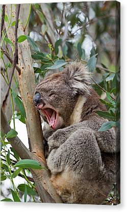 Koala (phascolarctos Cinereus Canvas Print by Martin Zwick