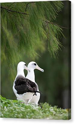 Bonding Canvas Print - Laysan Albatross (phoebastria by Daisy Gilardini