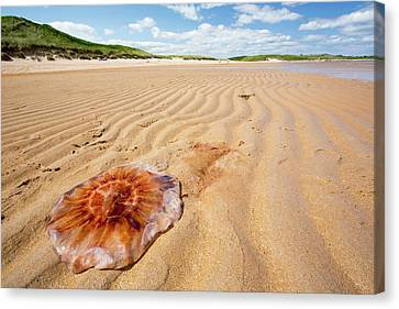 Sandy Beach Canvas Print - Lions Mane Jellyfish by Ashley Cooper