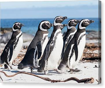 Magellanic Penguin (spheniscus Canvas Print by Martin Zwick