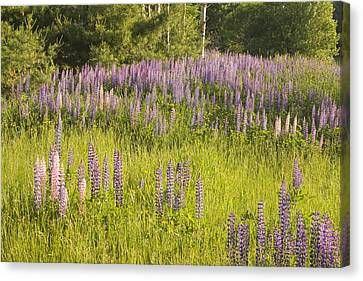 Maine Wild Lupine Flowers Canvas Print by Keith Webber Jr