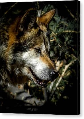 Mexican Grey Wolf Canvas Print by Ernie Echols