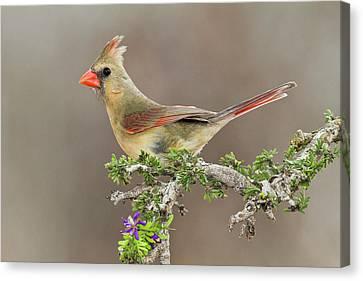Cardinalis Canvas Print - Northern Cardinal (cardinalis Cardinalis by Larry Ditto