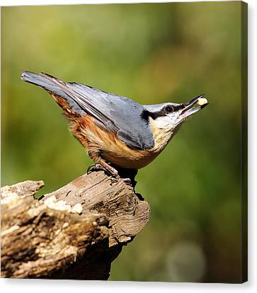 Nuthatch Canvas Print by Grant Glendinning