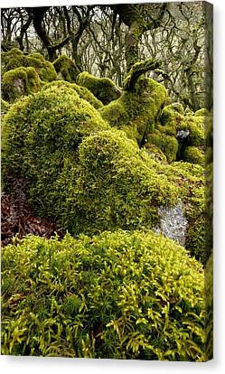 Oak Woodland On Dartmoor Canvas Print by Science Photo Library