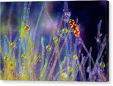 Oedogonium Green Algae Canvas Print by Marek Mis