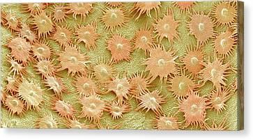 Oleaster Leaf Trichomes Canvas Print by Susumu Nishinaga
