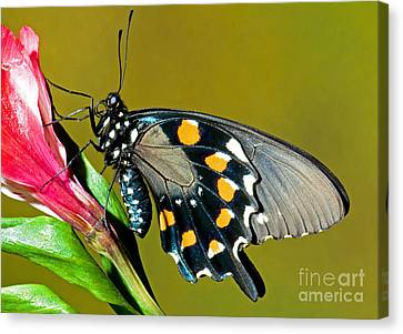 Pipevine Swallowtail Butterfly Canvas Print by Millard H. Sharp