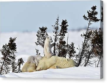 Polar Bear Mother And Cubs Canvas Print