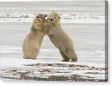 Polar Bears Near Kaktovic, Alaska Canvas Print