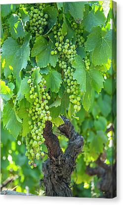 Grapevines Canvas Print - Portugal, Douro Valley, Douro River by Emily Wilson