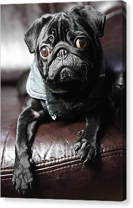 Pug Canvas Print by Falko Follert