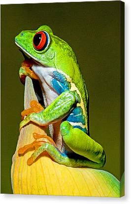 Red-eyed Treefrog Canvas Print
