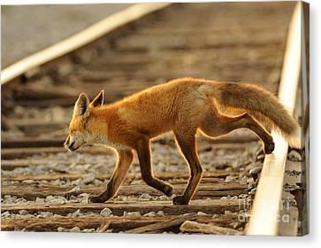 Red Fox Canvas Print by Scott Linstead