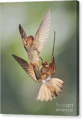Canvas Print featuring the photograph Shining Sunbeam Hummingbirds by Dan Suzio