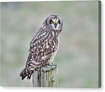 Short-eared Owl Canvas Print by Kathy King