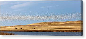 Snow Geese During Spring Migration Canvas Print by Chuck Haney