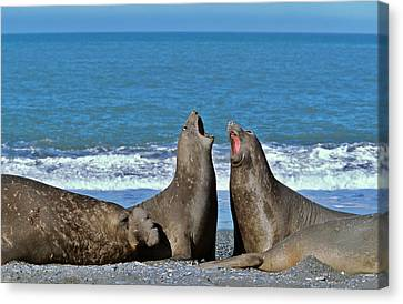 Southern Elephant Seal Female (cow Canvas Print by Martin Zwick