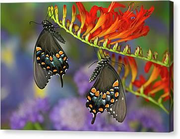 Spicebush Swallowtail, Papilio Troilus Canvas Print by Darrell Gulin