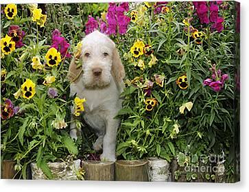 Spinone Puppy Dog Canvas Print