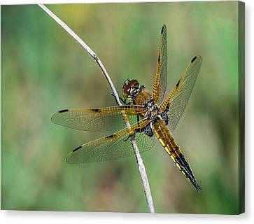 4-spotted Chaser Canvas Print
