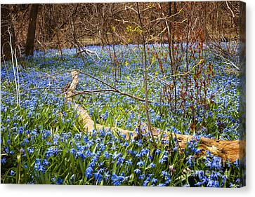 Spring Blue Flowers Wood Squill Canvas Print