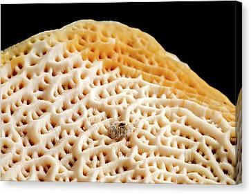 Steganoporella Bryozoan Canvas Print